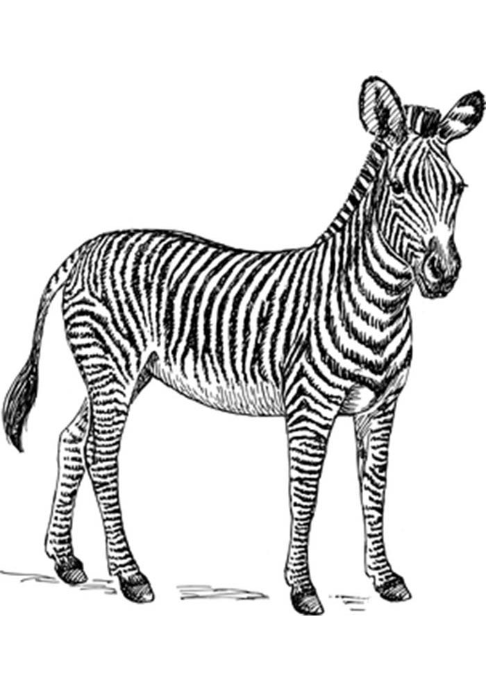 baby zebra coloring page