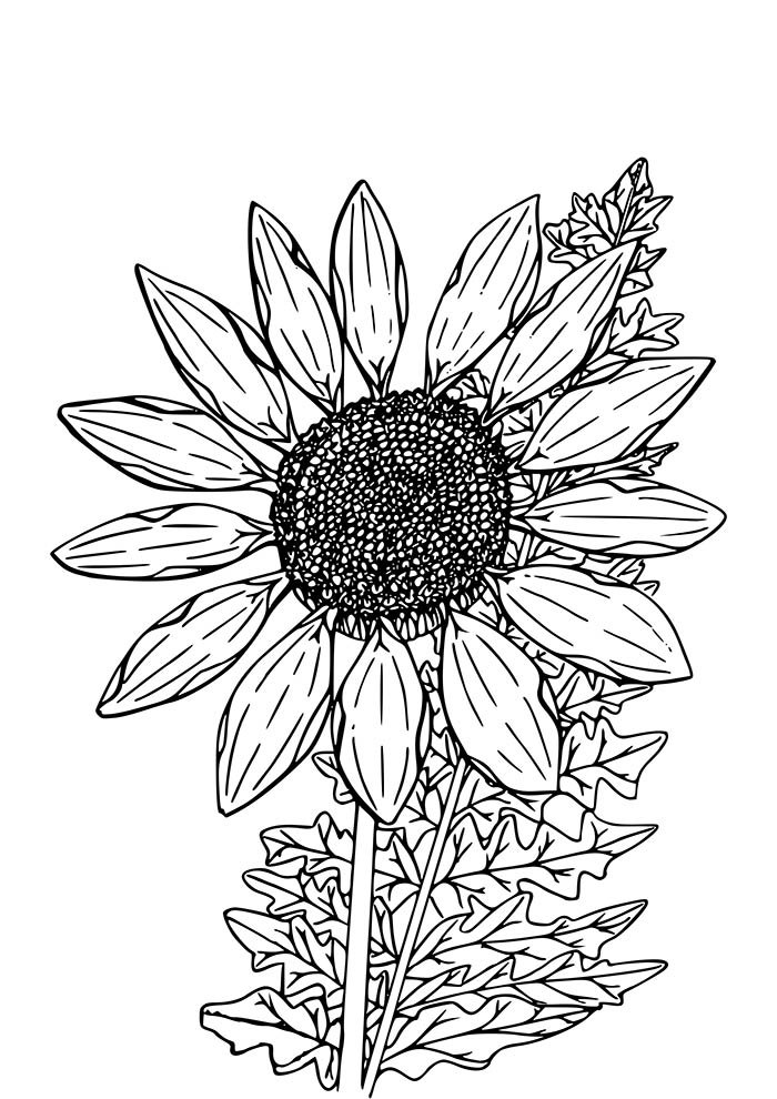 flower coloring page sunflower