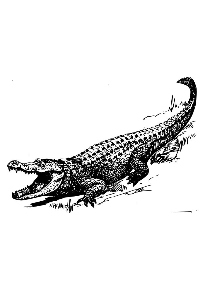 alligator coloring page 15