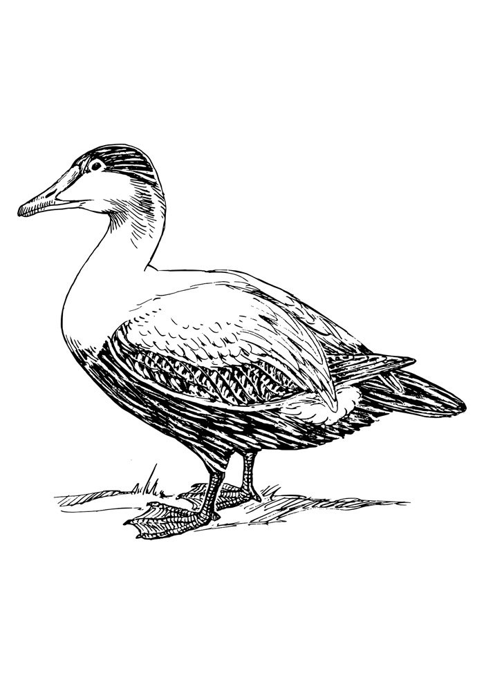 duck coloring page 5