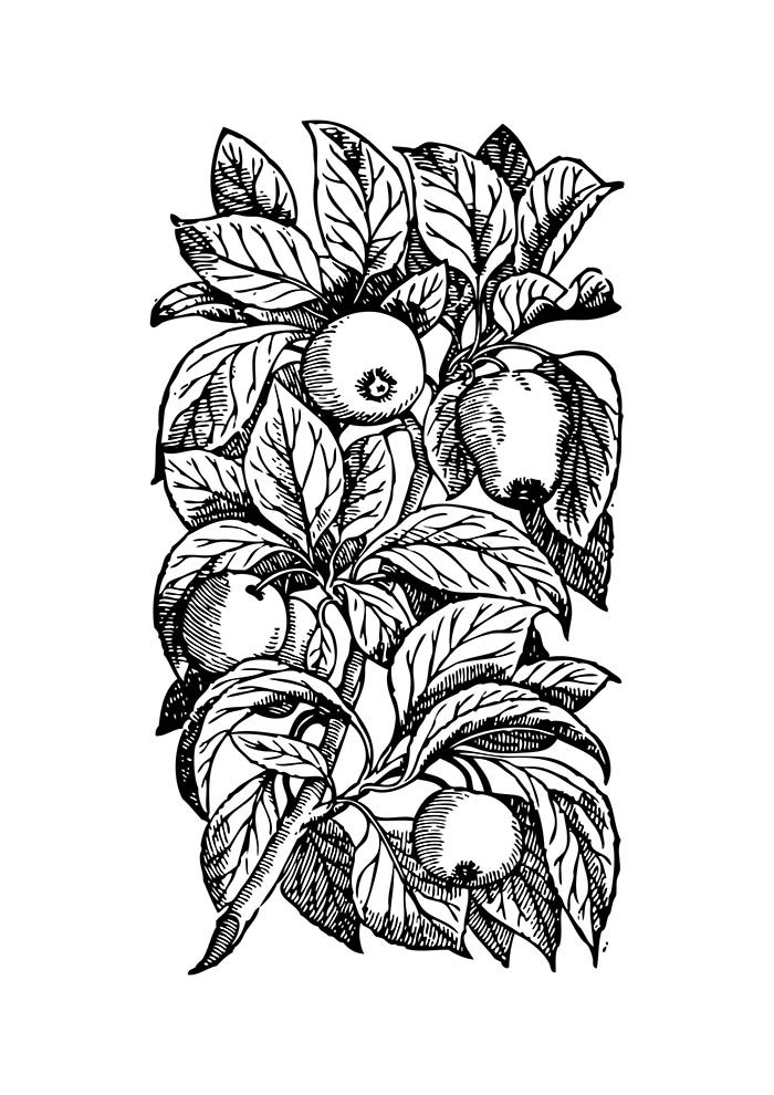 fruit coloring page 27