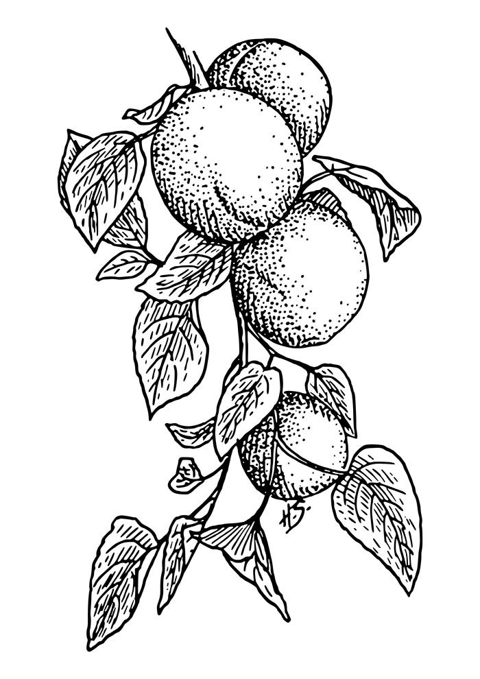fruit coloring page 35