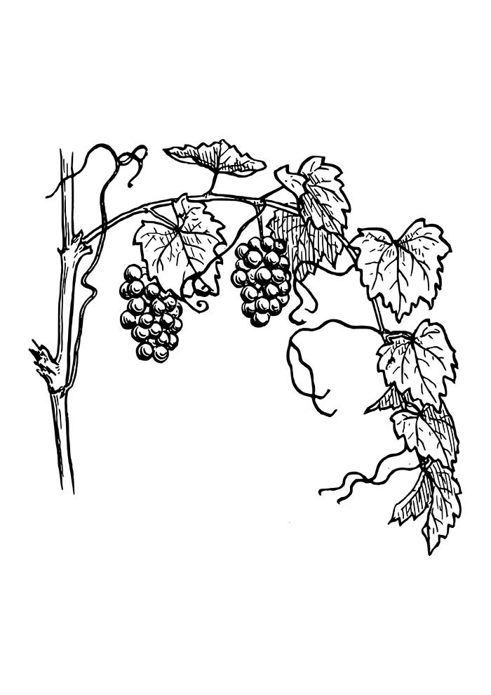 fruit coloring page 36