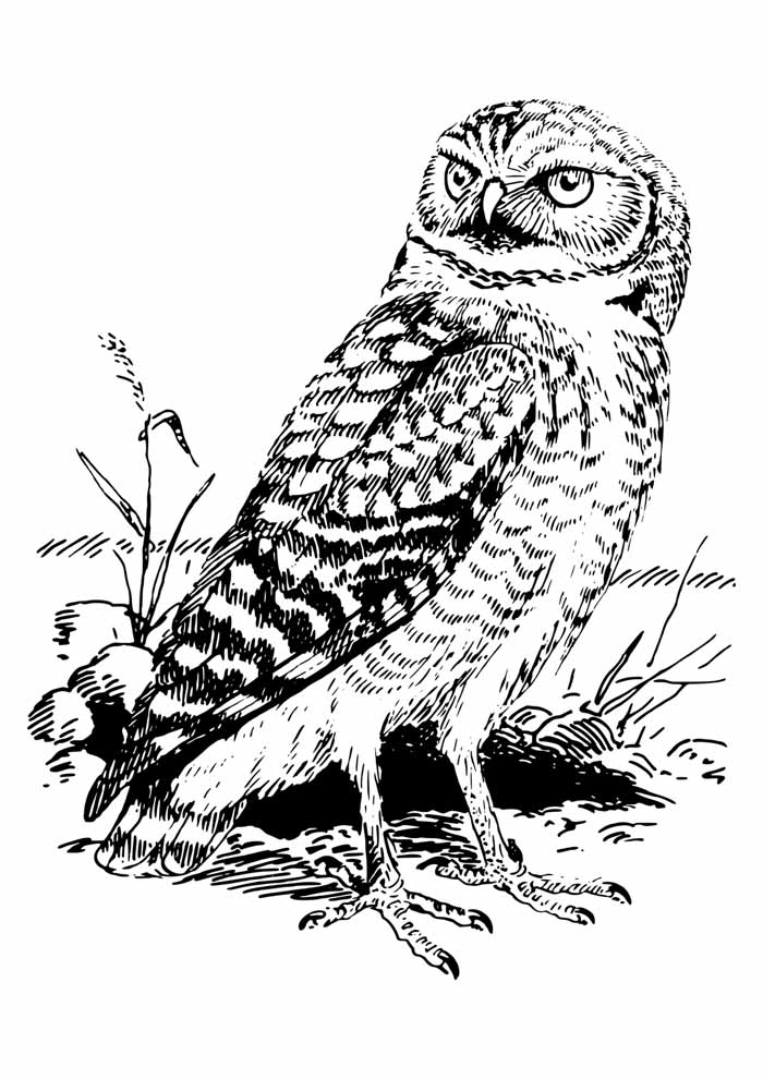 owl coloring page 2