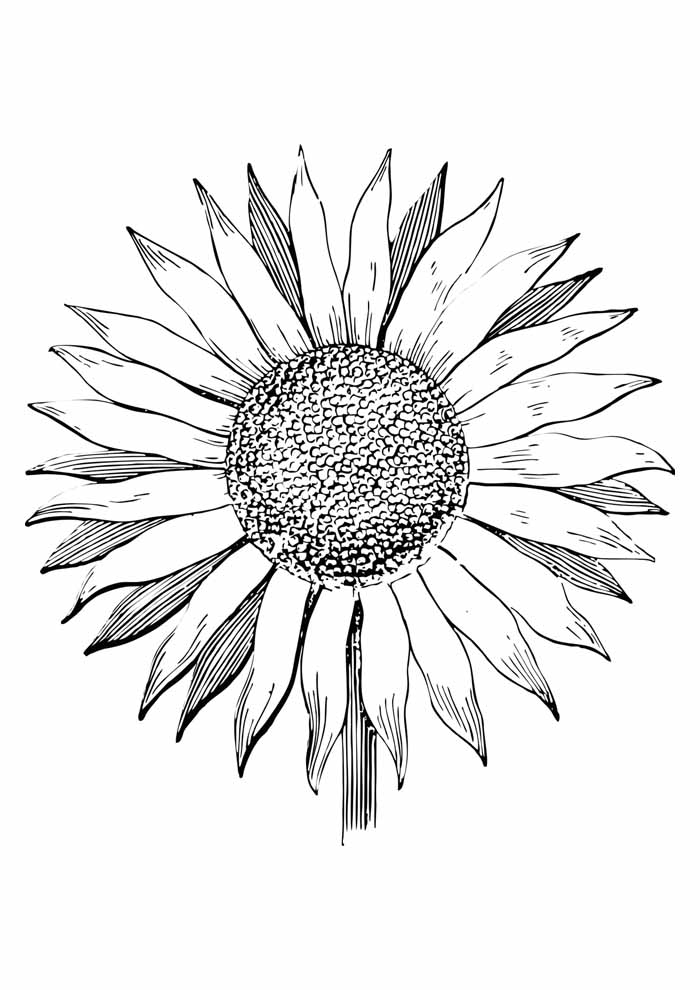 sunflower coloring page 27