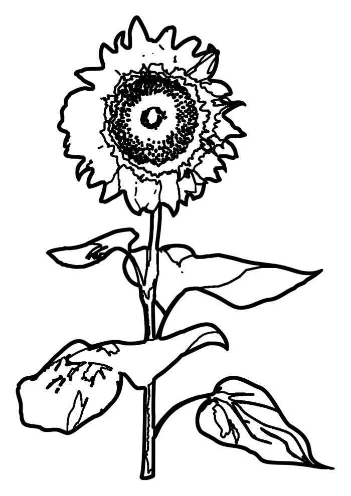 sunflower coloring page 30