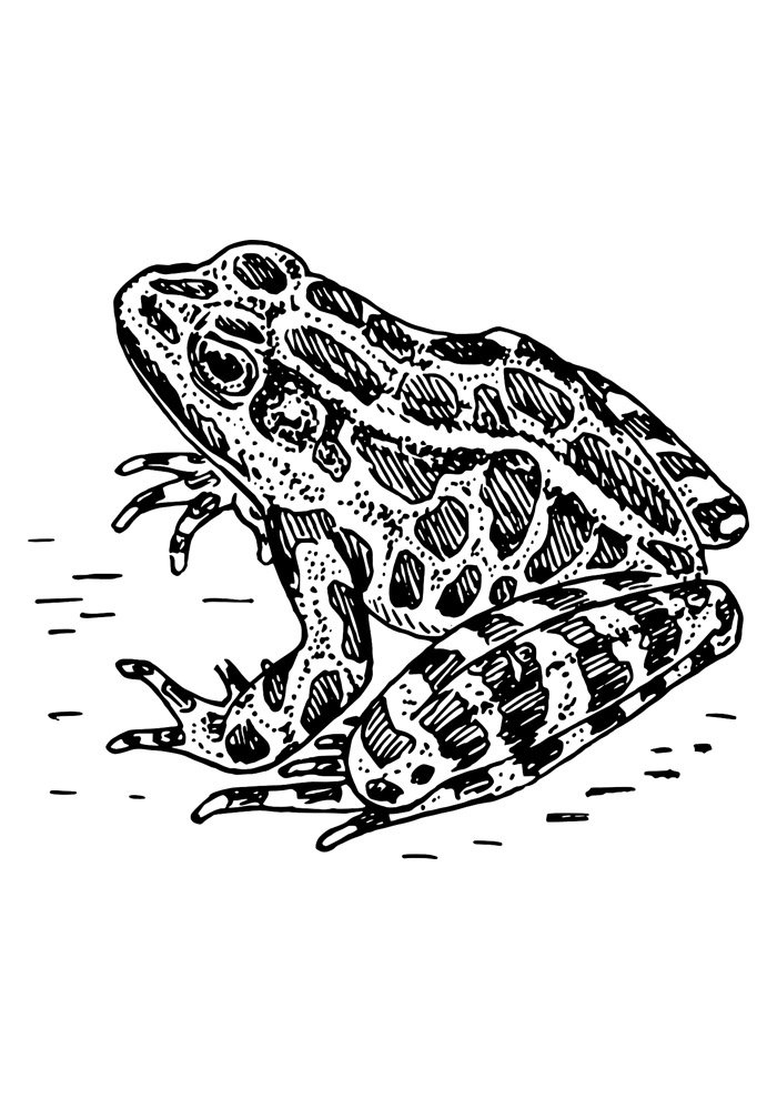 frog coloring page 11