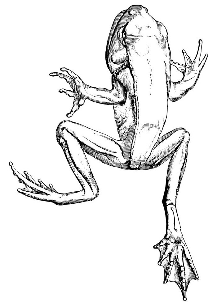 frog coloring page 37