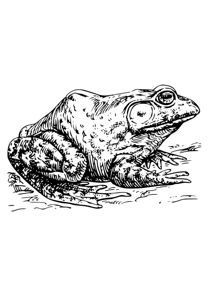 frog coloring page 39