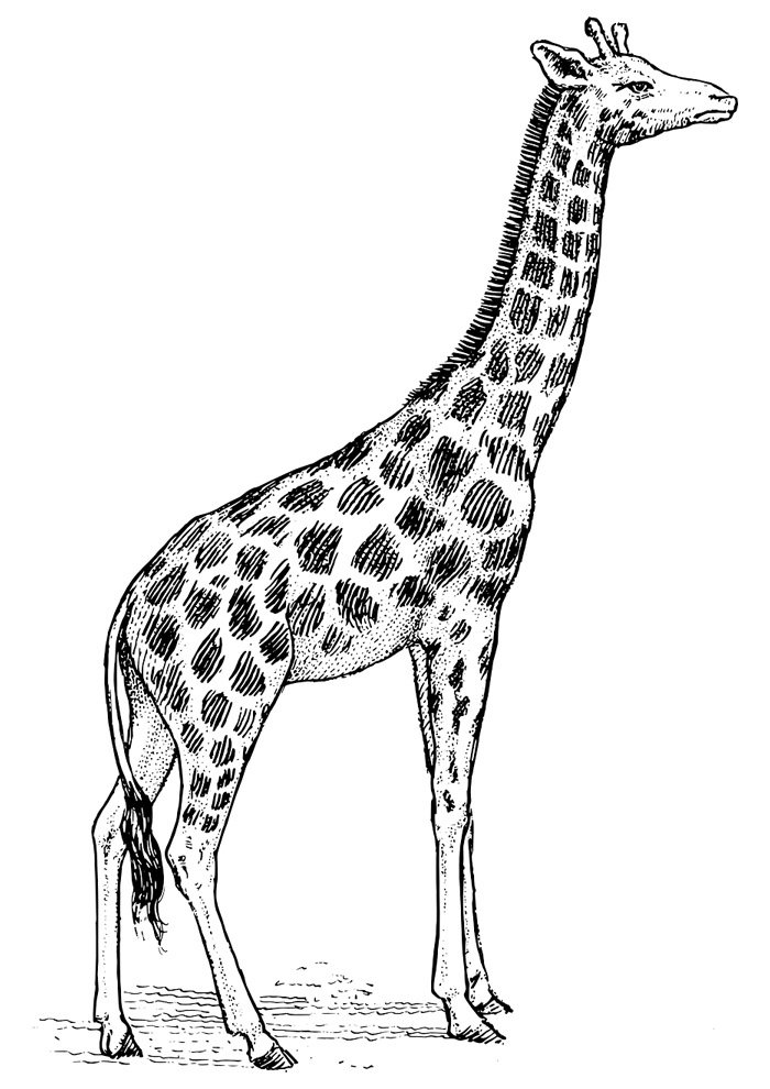 giraffe coloring page 4